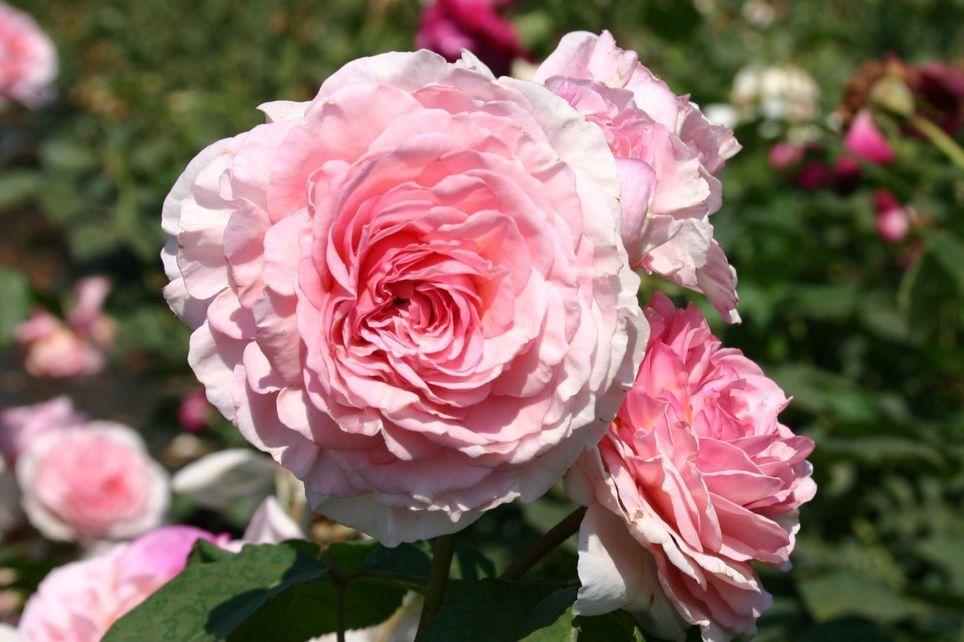 Englische Rose James Galway Englische Rosen David Austin Rosen Rosen