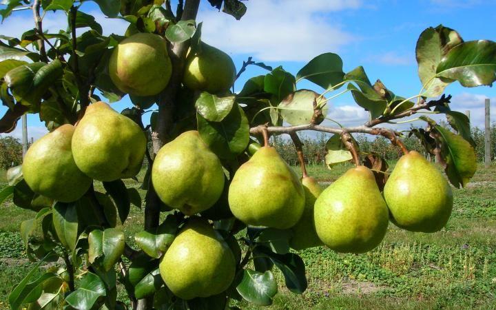 Az Indiai Konyhabol Szarmazo Fuszeres Lekvart Chutney T Keszitunk Kortebol Mely A Sok Illatos Fuszertol Lesz Dwarf Fruit Trees Fruit Trees Pruning Plum Trees