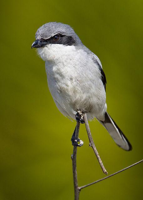 Loggerhead With Palmetto Bg Animals Birds Bird