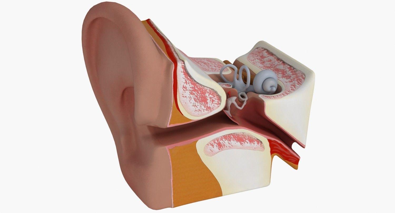 Ear Anatomy 3d Model 3d Model 3d Modeling Pinterest Ear