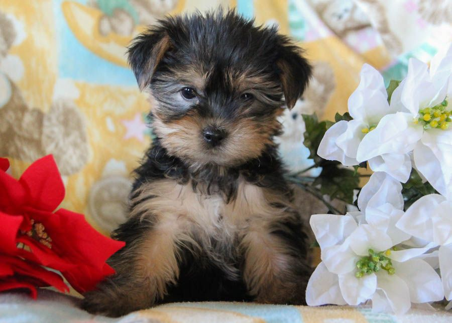 Puppies For Sale In 2020 Puppies Dog Breeder Yorkshire Terrier Puppies