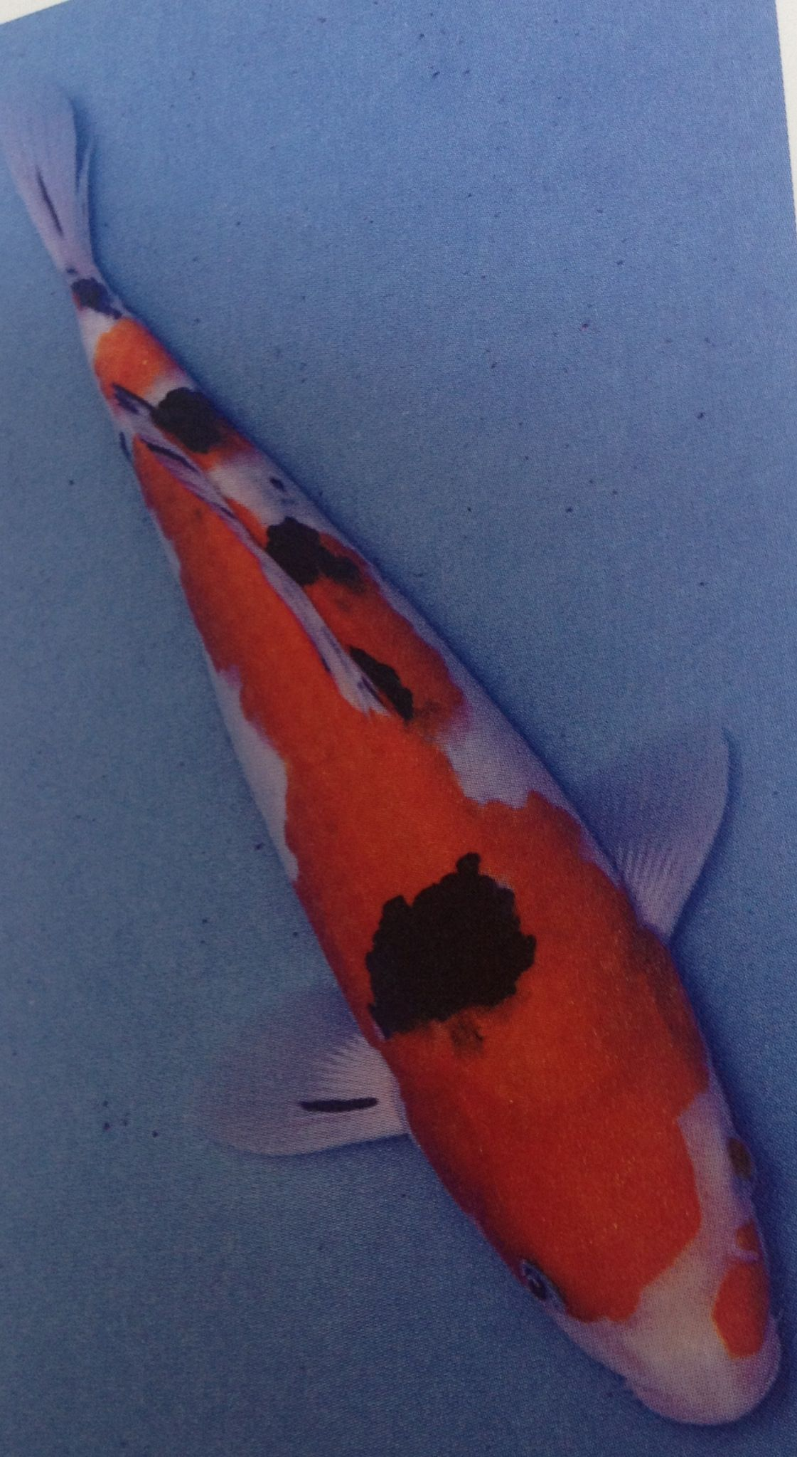 Sanke - is a non metallic fish with a double colour pattern - red ...