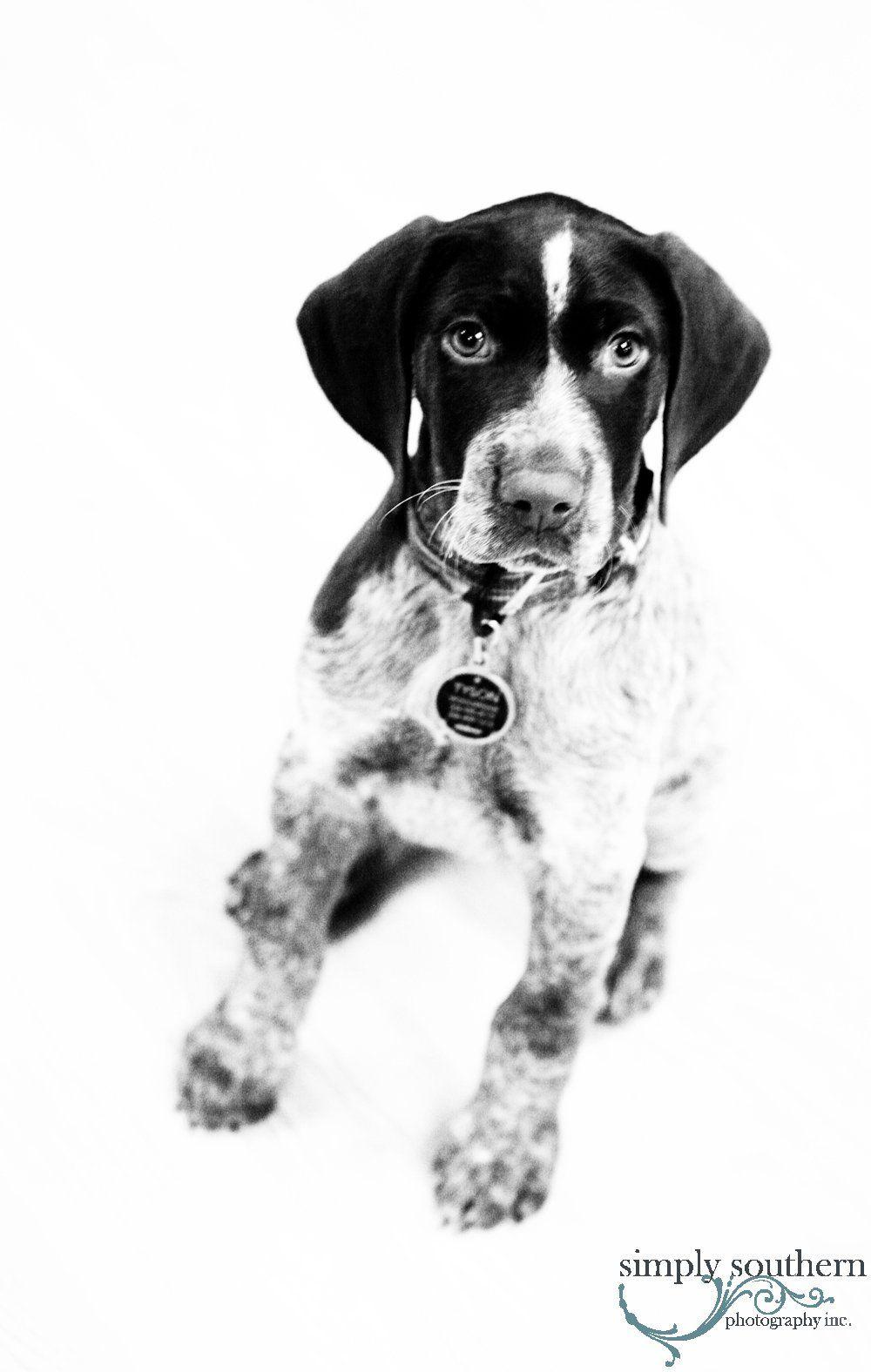 German Short Hair Pointer Puppy Black White Pet Portraits Pets