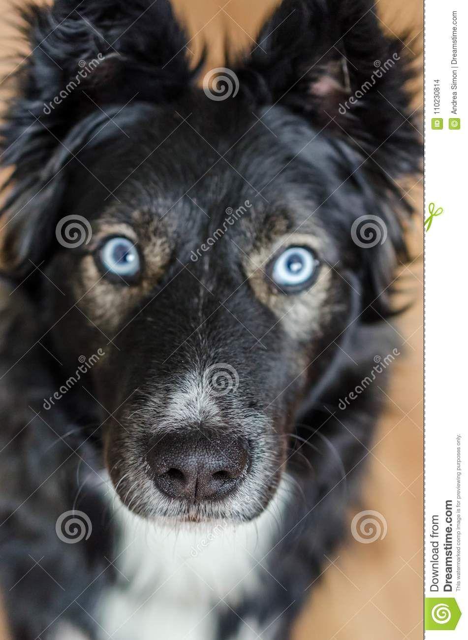 Border Collie Husky Mix Stock Photo Image Of Coat Close Border Collie Geschichte Und Rassebeschreibung In 2020 Border Collie Husky Mix Husky Mix Dogs Golden Retriever