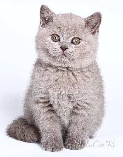 Litter G British Shorthair Kittens Lilac Girl Gloria Victoria