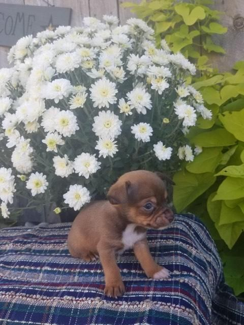 Thor Male Chihuahua Puppy Full Price 400 00 Deposit Chihuahua