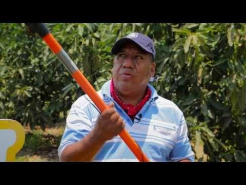 Buenas Prácticas De Poda En Aguacate Manejo Adecuado Del Cultivo De Aguacate Pt 2 5 Youtube Aguacate Cultivar Jardines Buenas Prácticas
