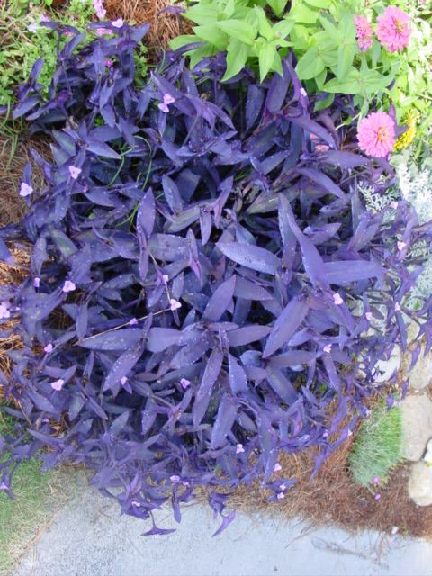 Purple Hearts Or Moses In The Cradle I Love These Plants Easy To Grow Striking Dark Foliage And Small Pink Flowers They Can Winter Outside