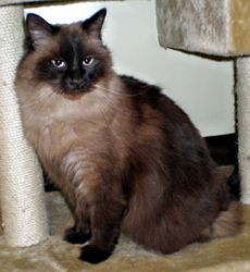 Siamese Cat On Pinterest 33 Pins Siamese Cats Siamese Kittens Cats