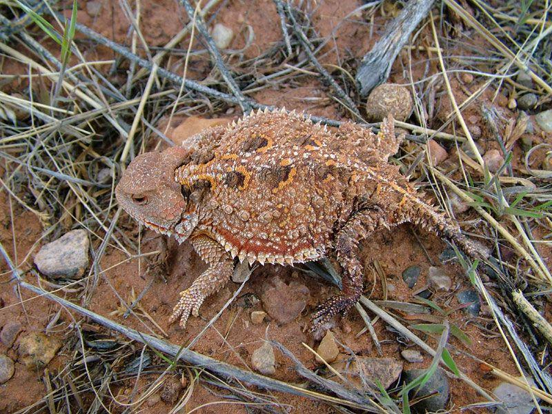 Phrynosoma hernandesi Shorthorned Toad Sighted