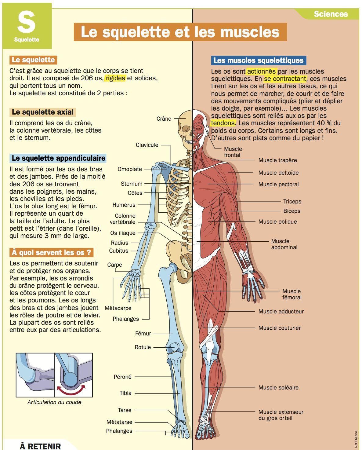 le squelette et les muscles corps humains humain et cole. Black Bedroom Furniture Sets. Home Design Ideas