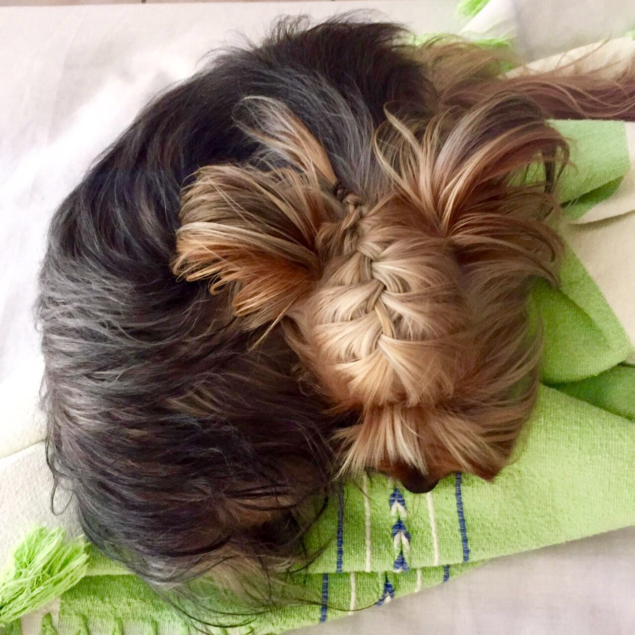 Coloring pictures yorkies - Yorkie Hairstyle