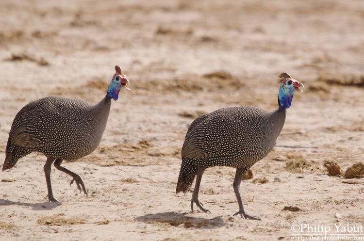 Helmeted Guineafowl (Numida meleagris)  Like other guineafowl, this species has an unfeathered head, in this case decorated with a dull yellow or reddish bony knob, and red and blue patches of skin. The wings are short and rounded, and the tail is also short... Zimbabwe
