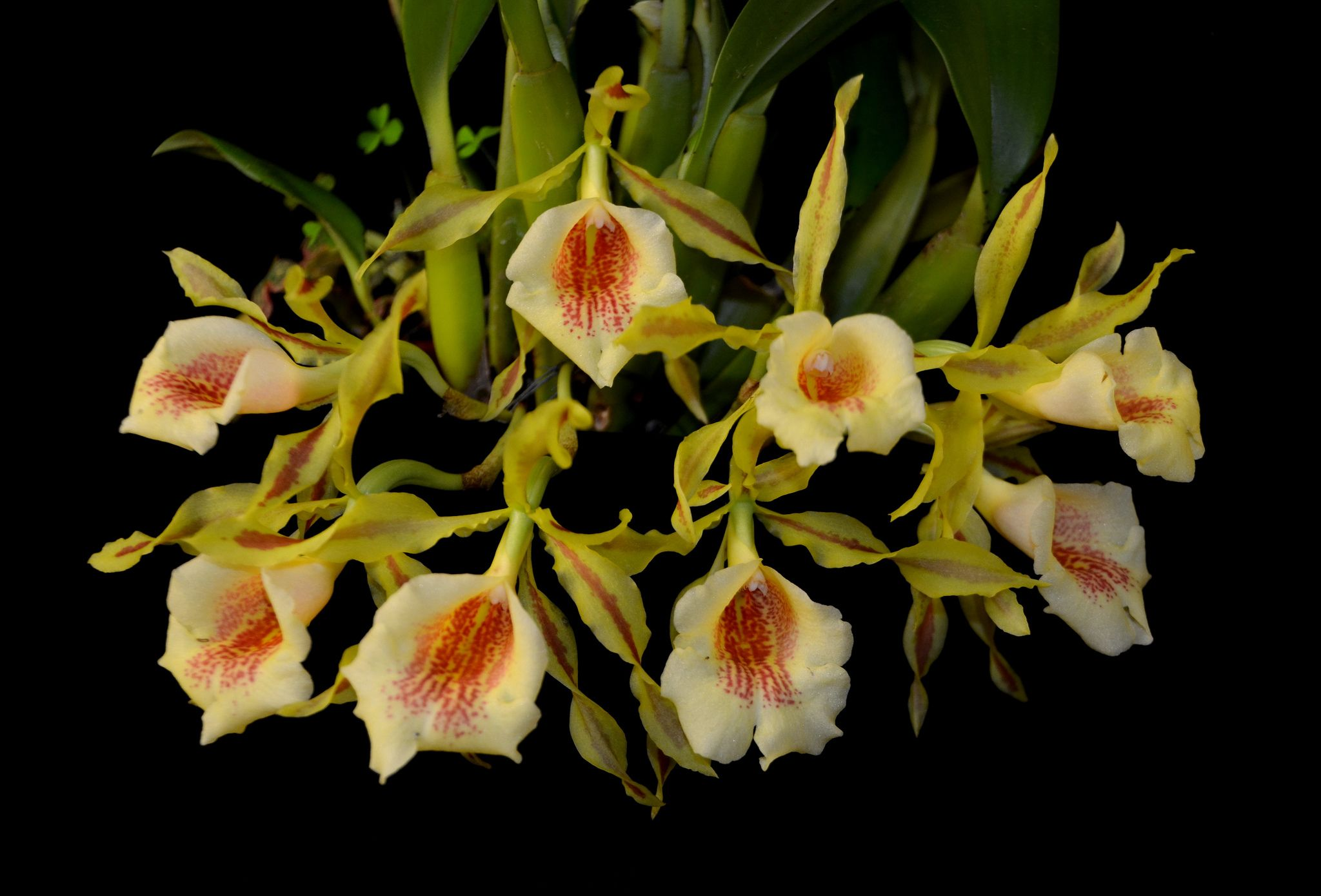 Trichopilia tortilis x turialbae orchid flowers and plants