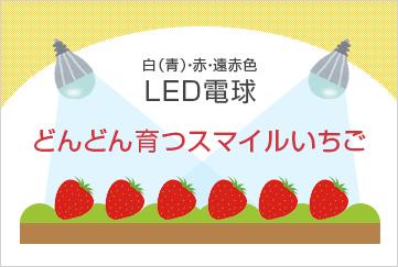 Led電球の力を活かしたいちご栽培 アスター株式会社 いちご 栽培 いちご Led電球
