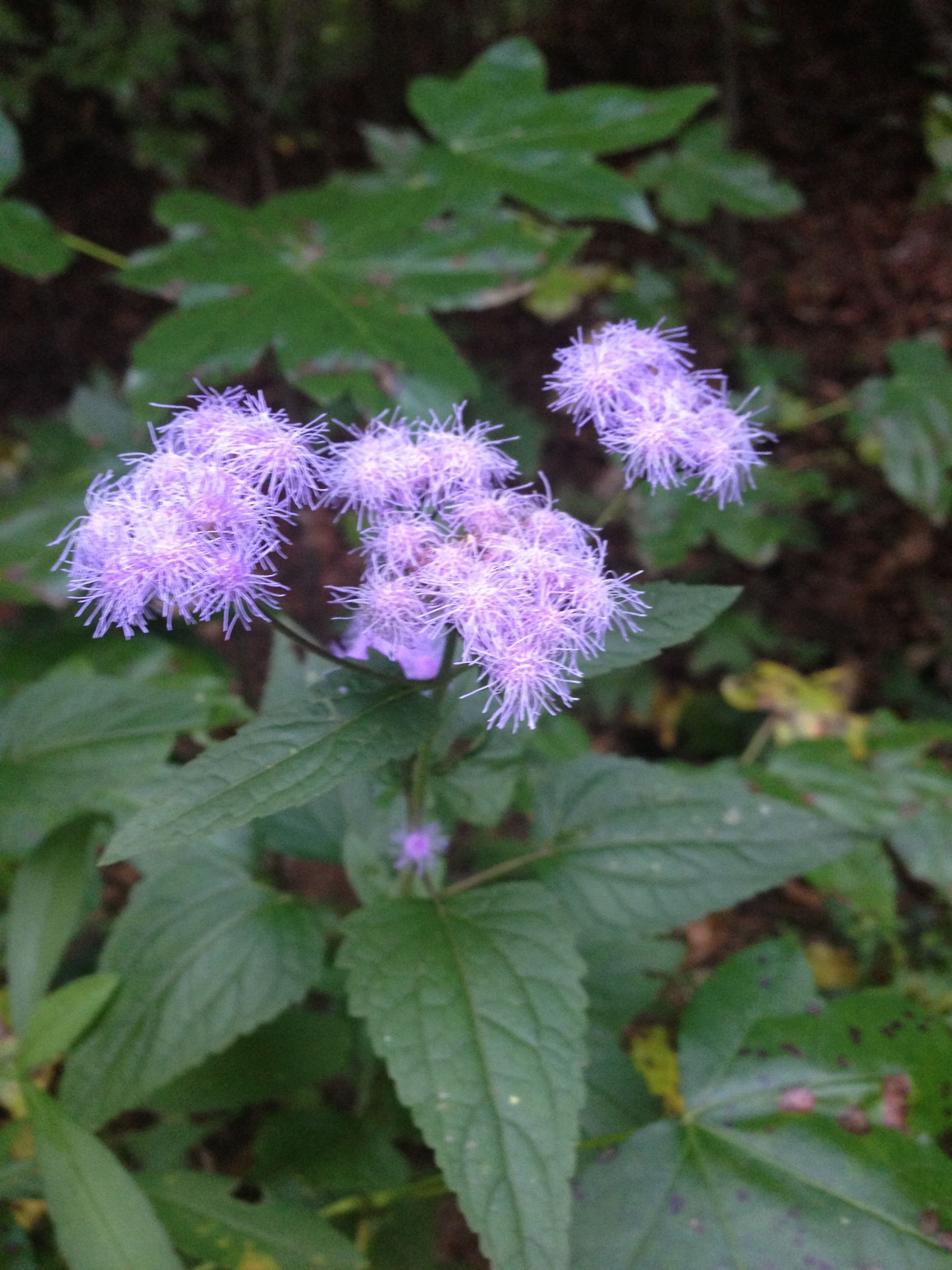 Wild Ageratum Grown In Full Sun Or Part Shade Fuzzy Blue Flowers Top Bright Green Foliage For Several Weeks In Late Blue Flower Top Blue Flowers Wild Flowers