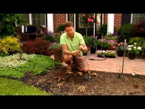 How To Plant Dahlias Youtube Plants Dahlia Garden Plants