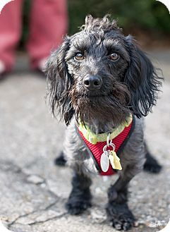 Houston Tx Poodle Miniature Dachshund Mix Meet Punky A Dog