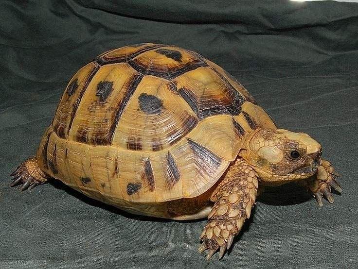 Golden Greek tortoise Tortoises, Tortoise care, Tortoise