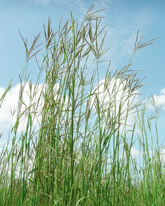 Big bluestem planting material pinterest grasses for Large grasses for gardens