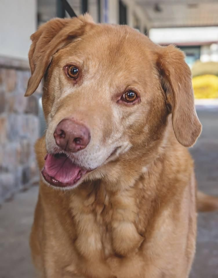 Adopt Teddy On Petfinder Dog Adoption Retriever Dog Dogs