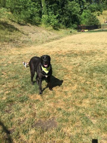 Adopt Lucy Ann On Great Dane Rescue Pets Labrador Retriever Mix