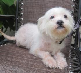 Adopt Madeline On Maltese Dogs Maltese Shih Tzu Animals