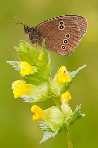 Ringlet butterfly {Aphantopus hyperantus} resting on yellow rattle flowers…