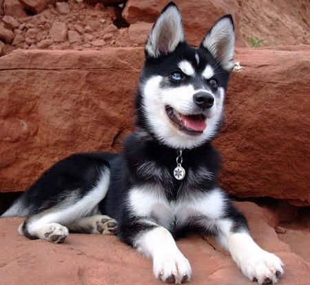 Talking The Hubby Into Getting One In A Year Or So Klee Kai