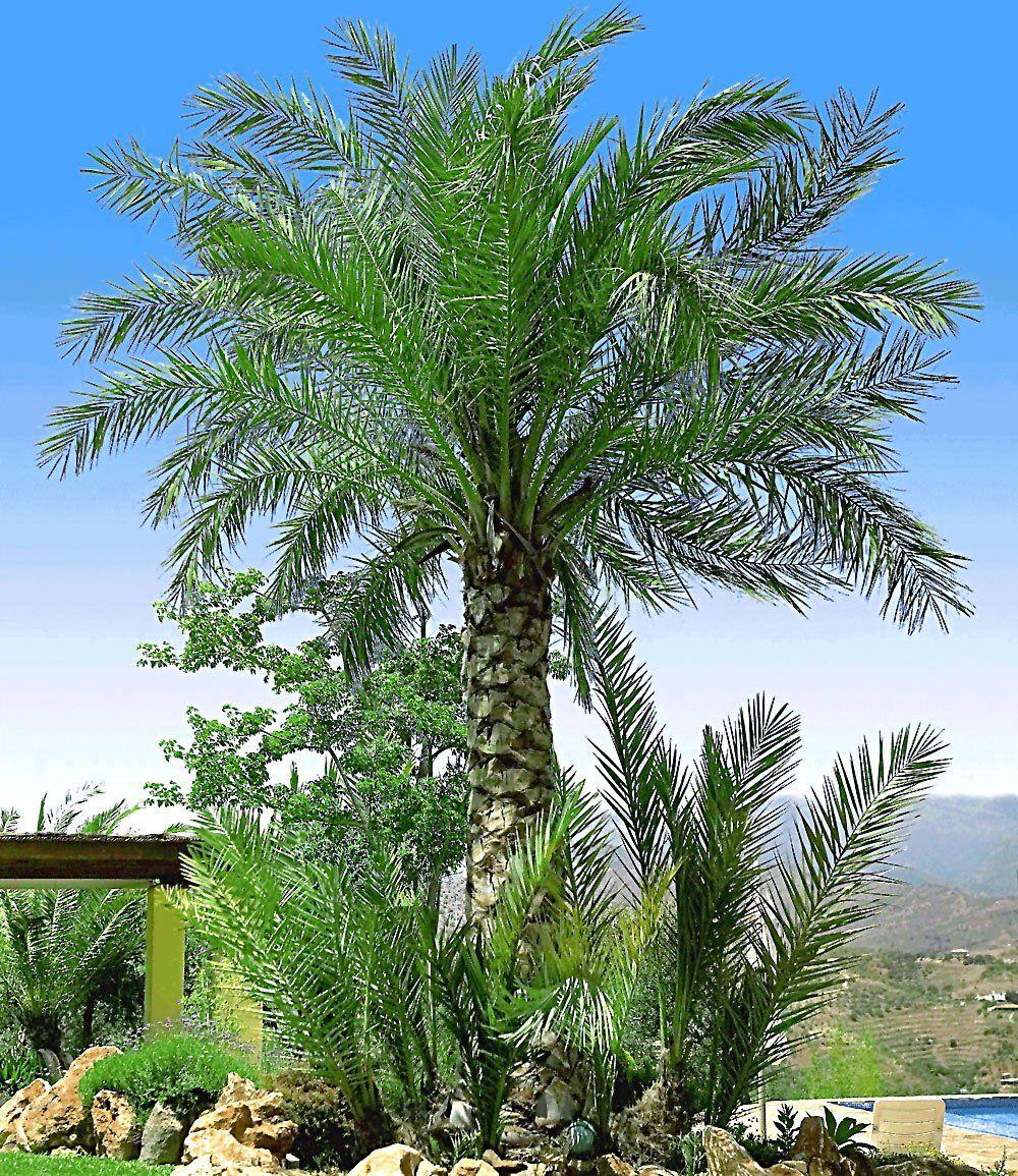 Chilenische Honig Palme Garten Pinterest