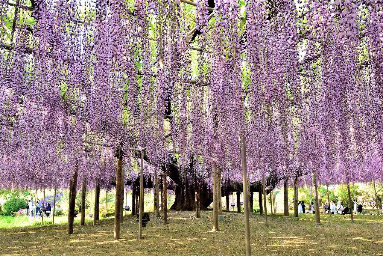 2020 Great Wisteria Festival At Ashikaga Flower Park Wisteria Tree Wisteria Pergola Ashikaga