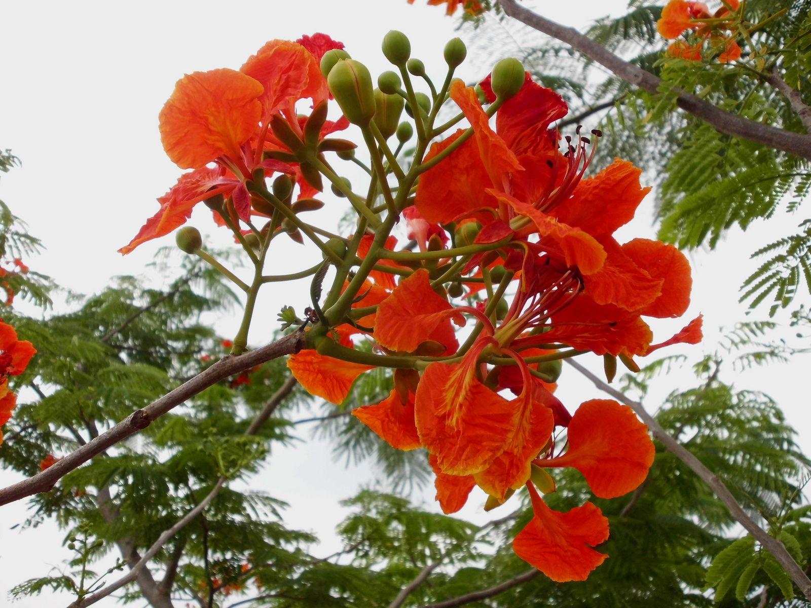 Bunga Flamboyan Flammenbaum