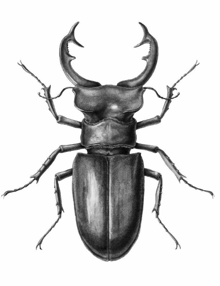 Stag beetle | Lines, beautiful lines | Pinterest