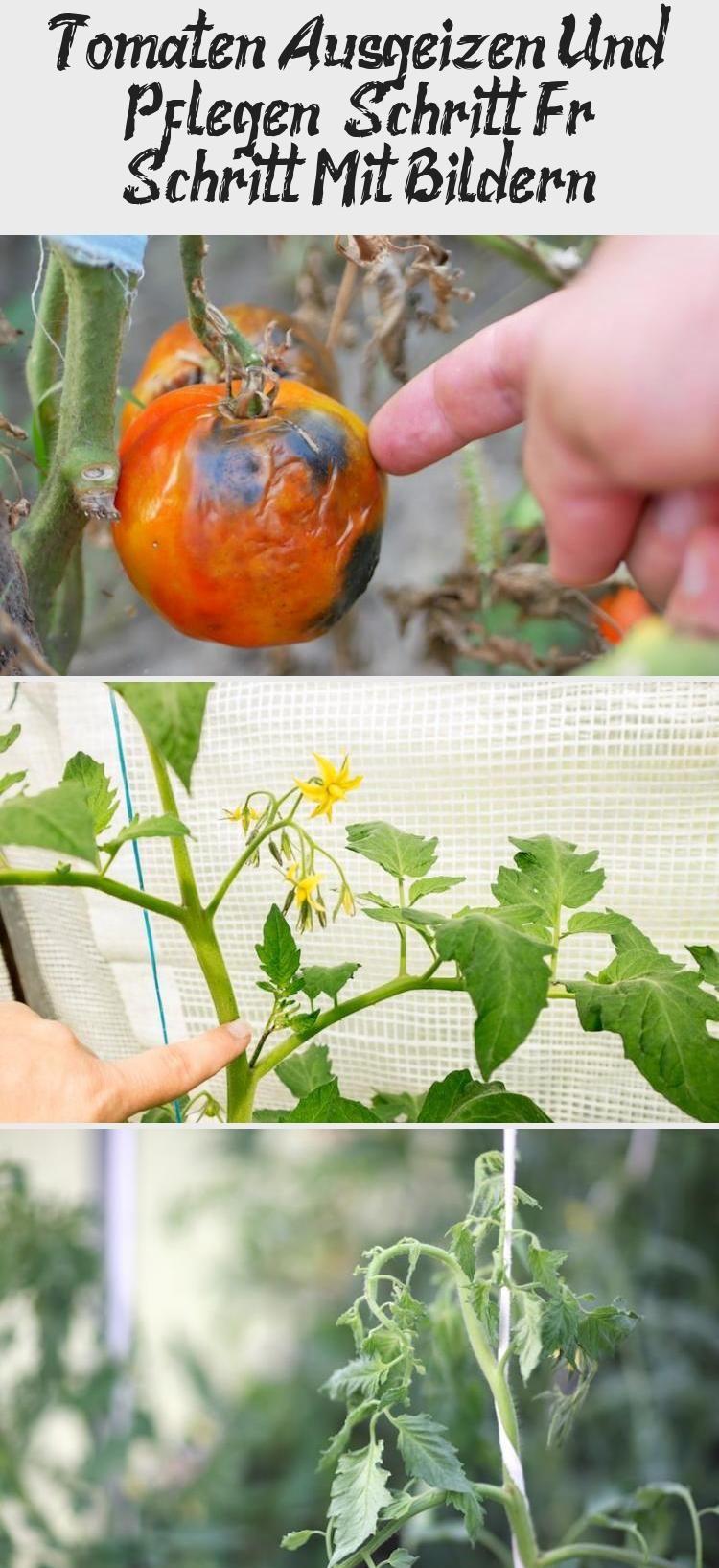 Tomaten Ausgeizen Und Pflegen – Schritt Für Schritt Mit Bildern! #tomatenpflanzen