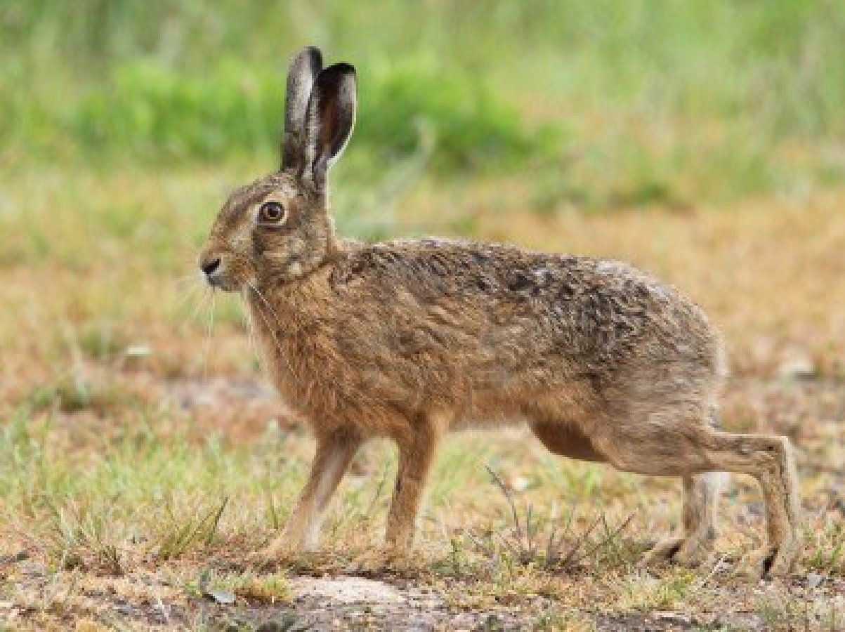 Hairbrained News Writing hair or hare? Hare, Rabbit