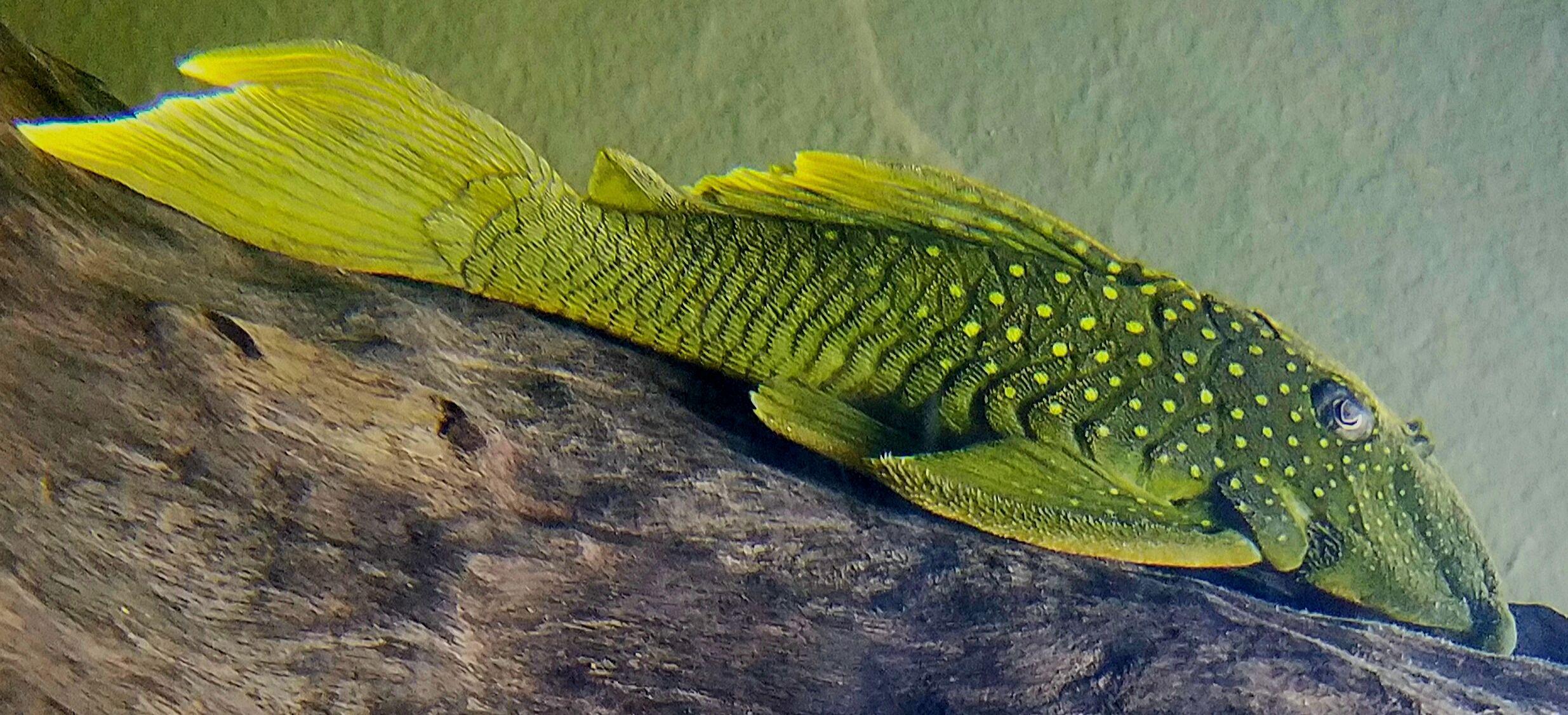 Green Phantom Pleco Hemiancistrus Subviridis L-200 | Anatomy: Water ...