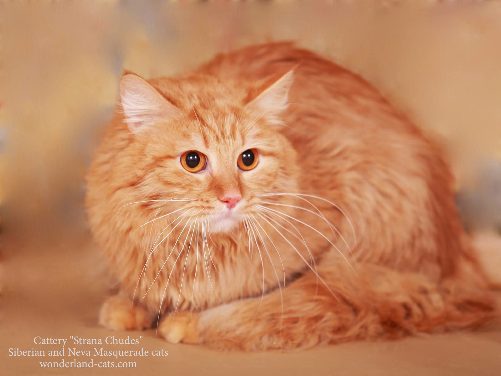 Russian Siberian beautiful cat red color. In our cattery