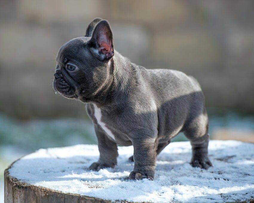 French bulldoggreyblue cuccioli carini cuccioli