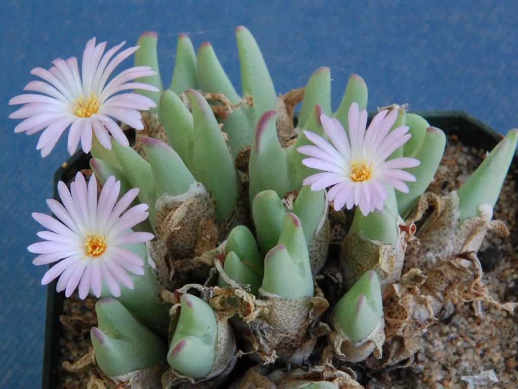 Conophytum Bilobum Subsp Gracilistylum Cacti And Succulents