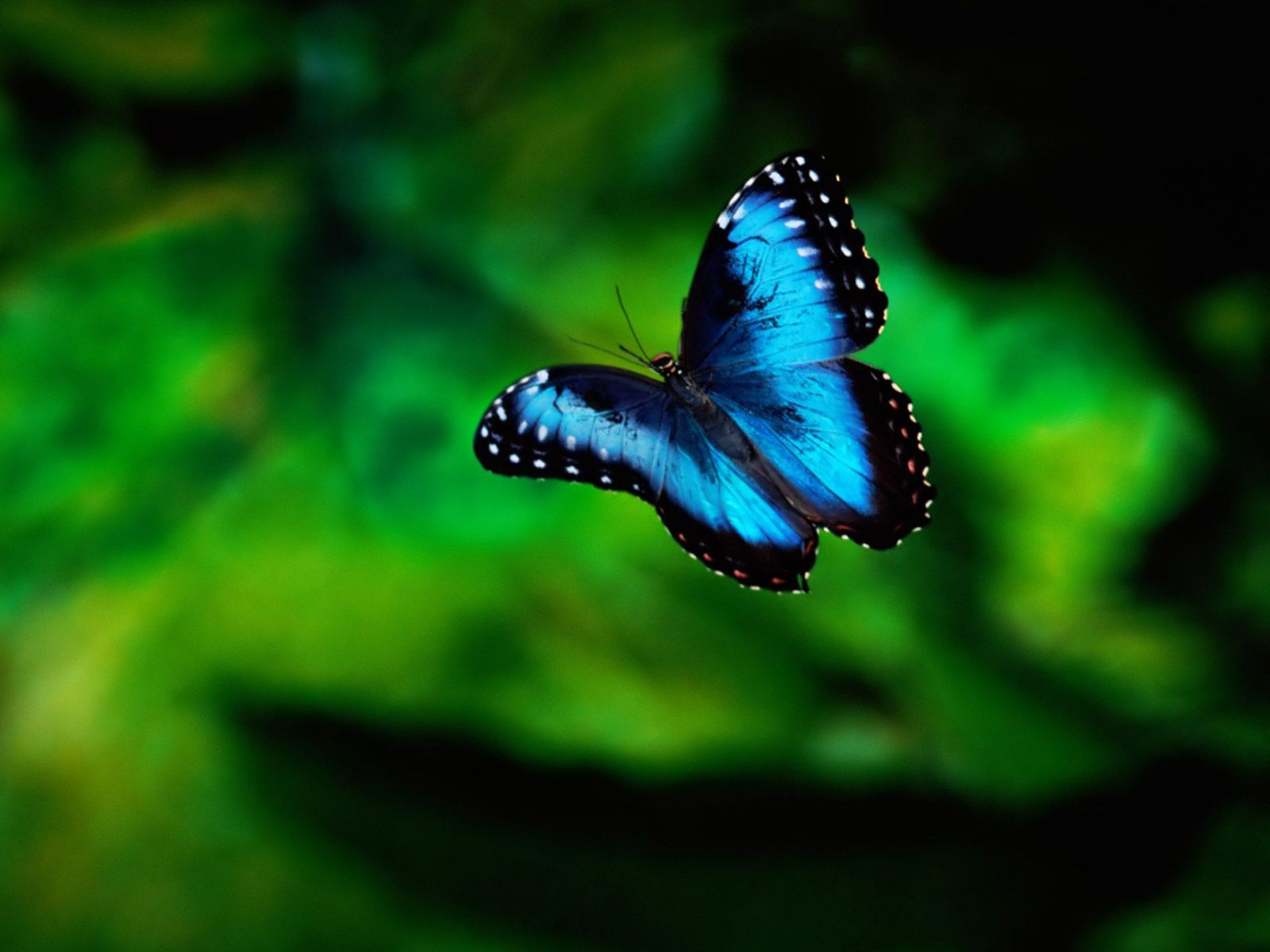 Blue Butterfly HD Wallpapers and