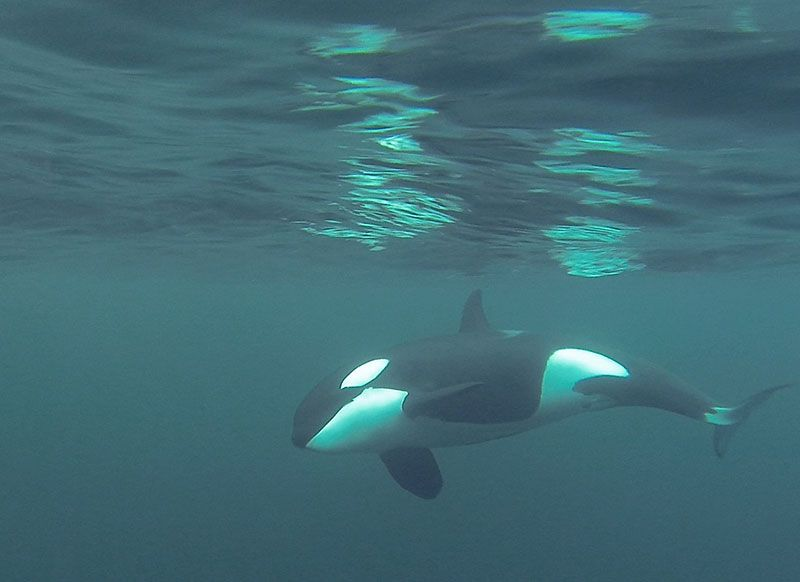 Orca Snorkel Expedition Norway | Waterproof Expeditions