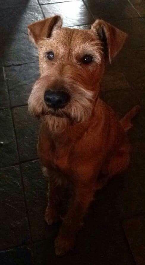 Handsome Boy Irish Terrier Irish Dog Irish Dog Breeds