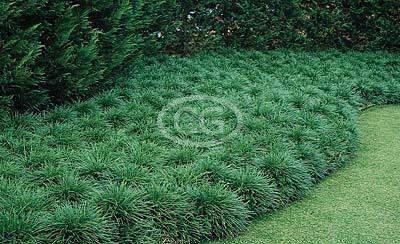 Ophiopogon Japonicus Fl Liriope Mondo Grass