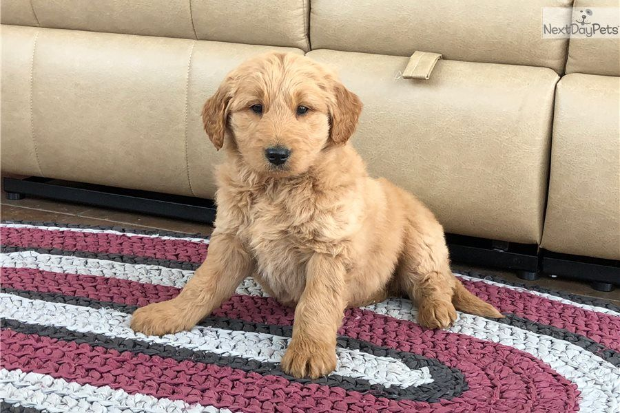 Whitney Goldendoodle puppy for sale near South Bend