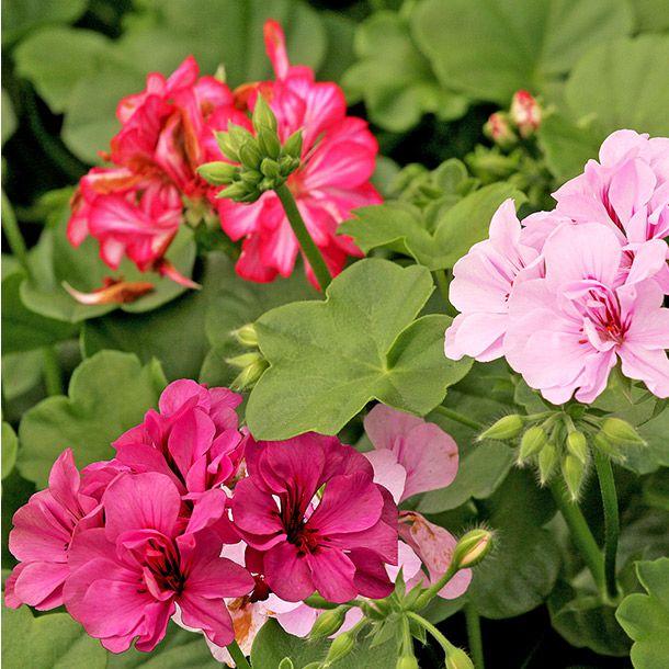 Planta geranio 6