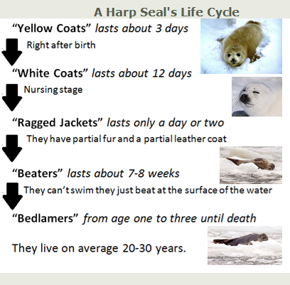 harp seal life cycle diagram trailer wiring 6 a s adorable pictures pinterest