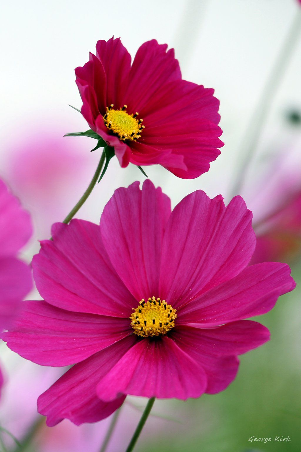 Flowering Cosmos By George Kirk On Deviantart Botanical Flowers Beautiful Rose Flowers Flower Pictures