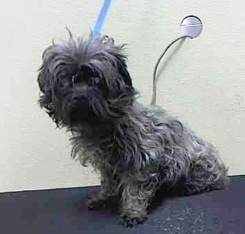 ❥★❥RESCUED❥★❥~ Animal ID #A1036191   *** 10 Year Old SENIOR ALERT!!! ***   ‒ My Name is MADDY. I am a Female, Gray Miniature Poodle mix. The shelter thinks I am about 10 years old. I have been at the shelter since May 13, 2015.   Animal Care and Control of New York City - Brooklyn   2336 Linden Blvd.  Brooklyn, NY https://www.facebook.com/OPCA.Shelter.Network.Alliance/photos/pb.481296865284684.-2207520000.1431617967./821168974630803/?type=3&theater