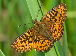Lehtohopeatäplä, Boloria titania - Perhoset - LuontoPortti