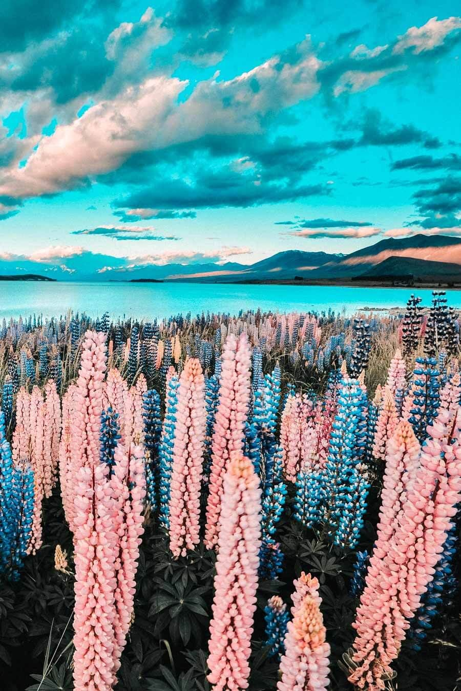Lake Tekapo is one of the top beauties of New Zealand and definitely one of the top places to see in New Zealand before you die. Check out more of the best places to see in New Zealand on Avenlylanetravel.com #AVENYLANETRAVEL #AVENLYLANE #newzealand #travelinspiration #beautifulplaces #beautifuldestinations #traveldestinations #islands #traveltheworld #beautifulplaces